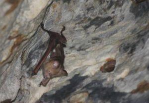 bat Batu cave Flores