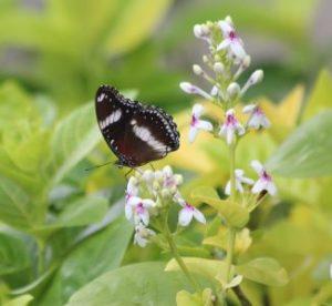 danaid eggfly Bali